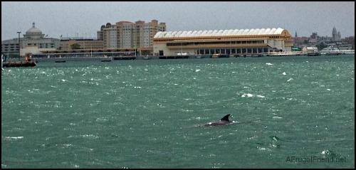 Puerto Rico Dolphin