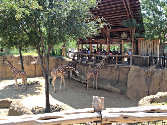 Dallas Zoo Giraffe Feeding