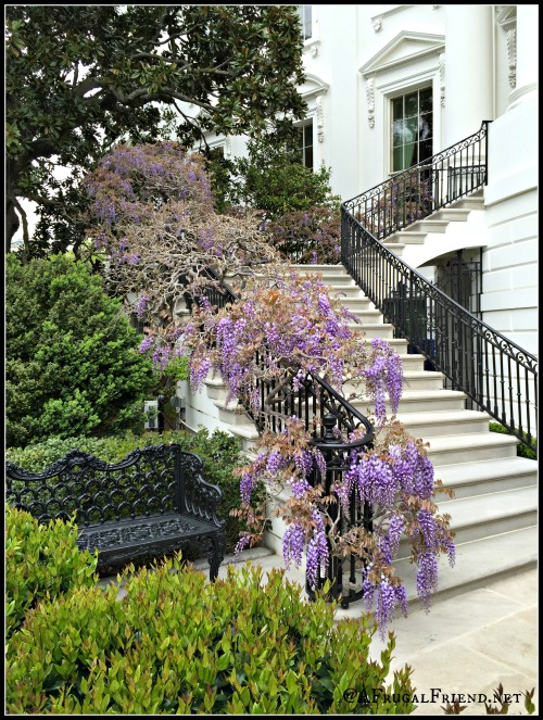 White House Wisteria