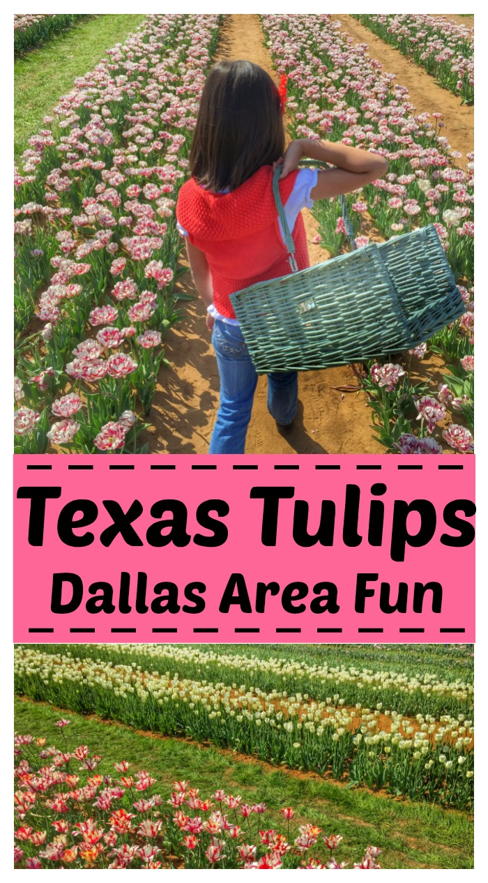 Texas Tulips Dallas Area Fun