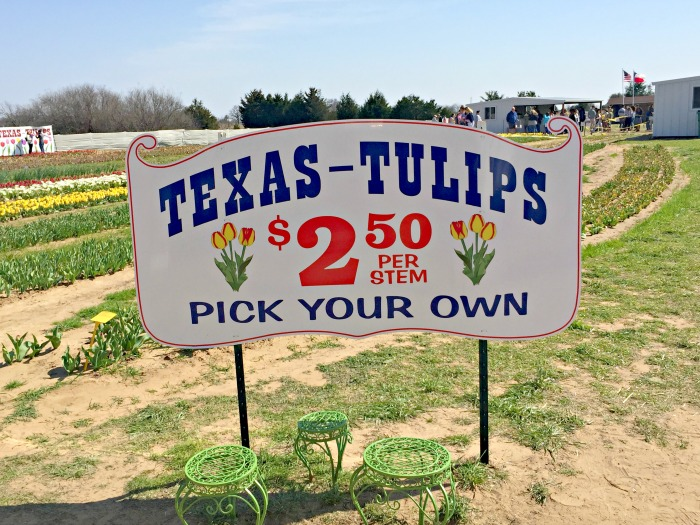 Texas Tulips Pilot Point Texas