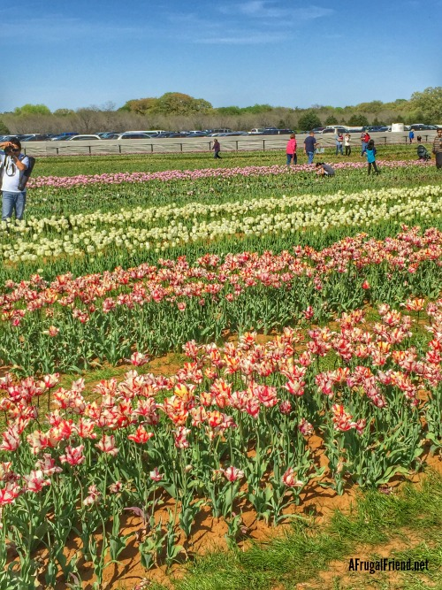 Texas Tulips Rows