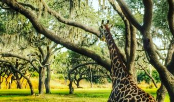 Animal Kingdom Safari Giraffe