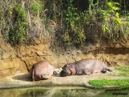 Animal Kingdom Safari Hippos