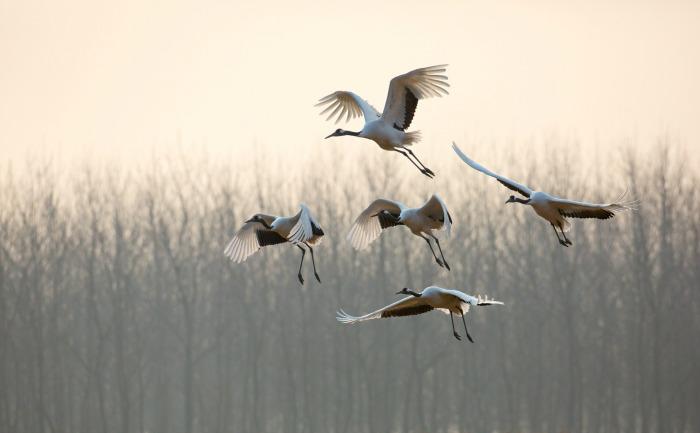 Born in China cranes