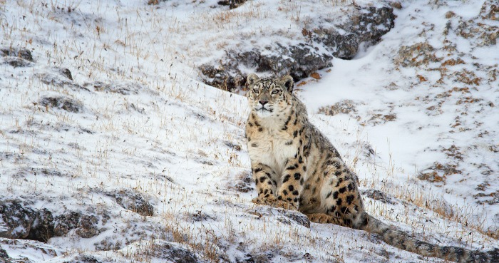 Born in China - snow leopards